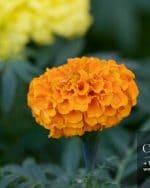 Centrascape - Marigold