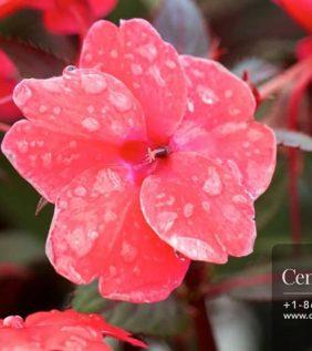 Centrascape - New Guinea Impatiens